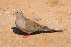 Mourning dove standing in profile Royalty Free Stock Photo