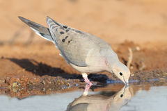 Mourning Dove - Texas Royalty Free Stock Photography