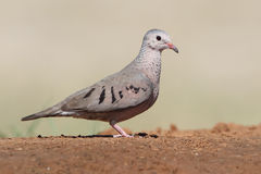 Mourning Dove - Texas Royalty Free Stock Photos