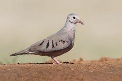 Mourning Dove - Texas. Mourning Dove (Zenaida macroura) Perched on the Ground - Texas Royalty Free Stock Photos