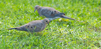 Mourning Dove, Turtle Dove (Zenaida macroura) in green grass feeding on seed scattered there. Royalty Free Stock Photos
