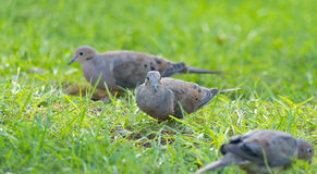 Mourning Dove, Turtle Dove (Zenaida macroura) in green grass feeding on seed scattered there. Stock Photo