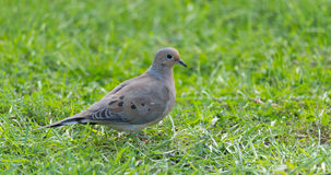 Mourning Dove, Turtle Dove (Zenaida macroura) in green grass feeding on seed scattered there. Stock Image
