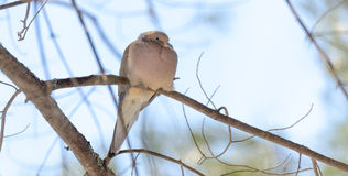 Mourning Dove, Turtle Dove Zenaida macroura on a tree branch. Stock Photo
