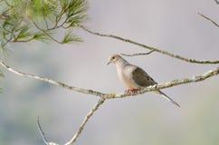 Mourning Dove, Turtle Dove Zenaida macroura on a tree branch. Stock Photo