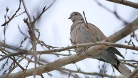 Mourning Dove turtledove bird bird Zenaida macroura on a tree branch stock video
