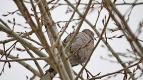 Mourning Dove turtledove bird Zenaida macroura on a tree branch stock video footage