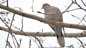 Mourning Dove turtledove bird Zenaida macroura on a tree branch bird stock video footage