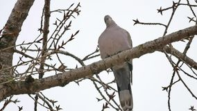 Mourning Dove turtledove bird Zenaida macroura on tree branch bird. Mourning Dove turtledove bird Zenaida macroura tree branch bird stock footage