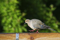 Mourning Dove walking along looking for food. Stock Photo