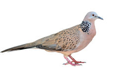 Mourning dove. On white background Royalty Free Stock Photos