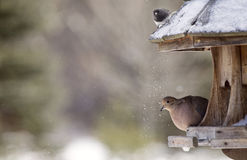 Mourning Dove in Winter Royalty Free Stock Photography