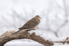 Mourning Dove in Winter. A mourning dove perched on a log in snow Stock Photo