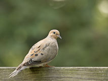 Mourning Dove (Zenaida macroura). Perched on a wood post Royalty Free Stock Photography