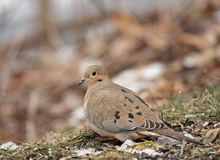 Mourning Dove (Zenaida macroura} Royalty Free Stock Photos