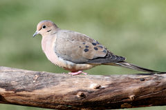 Mourning Dove (Zenaida macroura) Royalty Free Stock Images