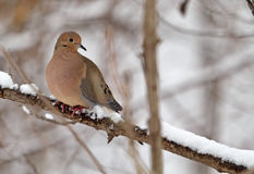 Free Mourning Dove, Zenaida Macroura Stock Photography - 18042472