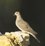Mourning Dove, Zenaida macroura Royalty Free Stock Image
