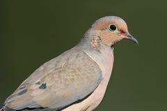 Mourning Dove (Zenaida macroura) Stock Image