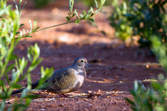 Mourning Dove, Zenaida macroura Royalty Free Stock Photo