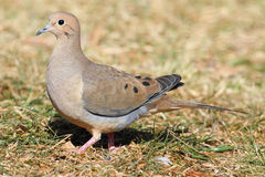 Mourning Dove (Zenaida macroura) Royalty Free Stock Photo