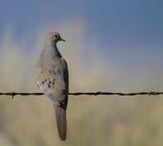 Mourning Dove, Zenaida macroura. Mourning Dove in Alamosa National Wildlife Refuge in Colorado Stock Photography