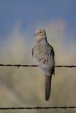 Mourning Dove, Zenaida macroura. Mourning Dove in Alamosa National Wildlife Refuge in Colorado Stock Images