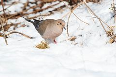 Mourning Dove - Zenaida macroura. A Mourning Dove, also known as a Carolina Turtledove, is walking in the show. Humber bay Park, Toronto, Ontario, Canada stock photography