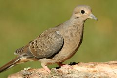 Mourning Dove (Zenaida macroura) Stock Photos