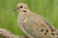 Mourning Dove (Zenaida macroura) Royalty Free Stock Image