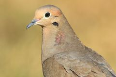 Mourning Dove (Zenaida macroura) Royalty Free Stock Image