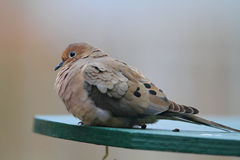 Mourning Dove Stock Photos