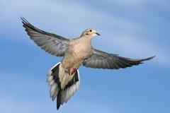 Free Mourning Dove, Zenaida Macroura, Flying Wings Spread Stock Images - 135704744