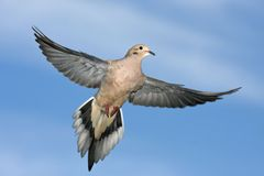 Mourning Dove, Zenaida macroura, flying wings spread. A Mourning Dove, Zenaida macroura, flying wings spread stock images