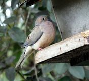 Mourning Dove (Zenaida macroura) Stock Images
