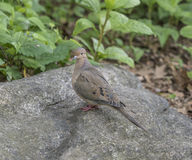 Mourning dove,Zenaida macroura Stock Photography