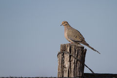 Mourning Dove, Zenaida macroura Royalty Free Stock Photos