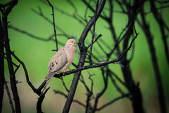 Mourning Dove (Zenaida macroura Stock Photography
