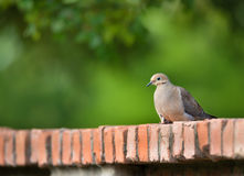 Mourning dove Zenaida macroura Royalty Free Stock Image