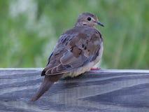 Mourning Dove (Zenaida macroura) Royalty Free Stock Photo