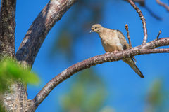 Mourning Dove (Zenaida macroura) Stock Photography