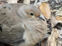 Mourning Dove Zenaida macroura Stock Images