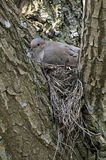 Mourning Dove (Zenaida macroura). Mourning Dove sitting on nest Royalty Free Stock Photography