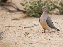 Mourning Dove Zenaida macroura Royalty Free Stock Photo