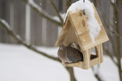 Mourning Dove (Zenaida macroura) in Winter