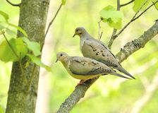 Mourning doves Royalty Free Stock Photo