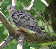 Mourning Doves. Here sits a beautiful Mourning Dove Royalty Free Stock Photos
