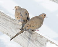 Mourning Doves Royalty Free Stock Images