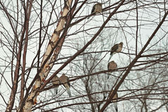 Mourning Doves In River Birch Stock Photo