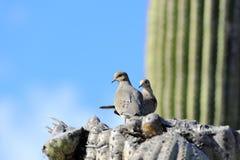 Mourning Doves on Saguaro Cactus. View of mourning doves perched on top of worn Saguaro Cactus, Tucson, Arizona, United States Stock Image